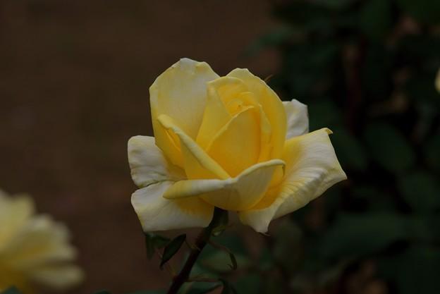 薔薇 月光