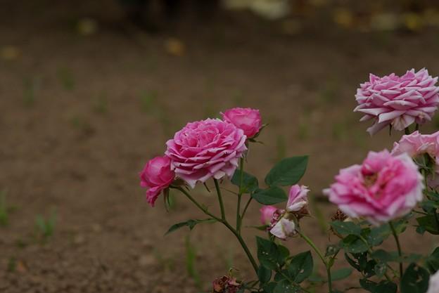 薔薇 オーバーナイト・センセーション