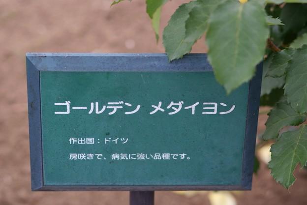 薔薇 ゴールデン・メダイヨン