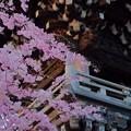 Photos: 柴又帝釈天 鐘楼前の枝垂れ桜