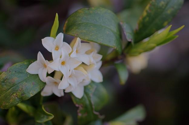白花沈丁花(シロバナジンチョウゲ)