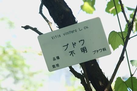メンデルのブドウ