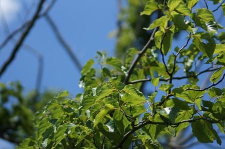 玄圃梨(ケンポナシ)