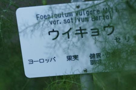 茴香(ウイキョウ)