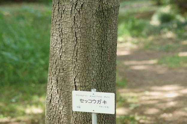 浙江柿(セッコウガキ)