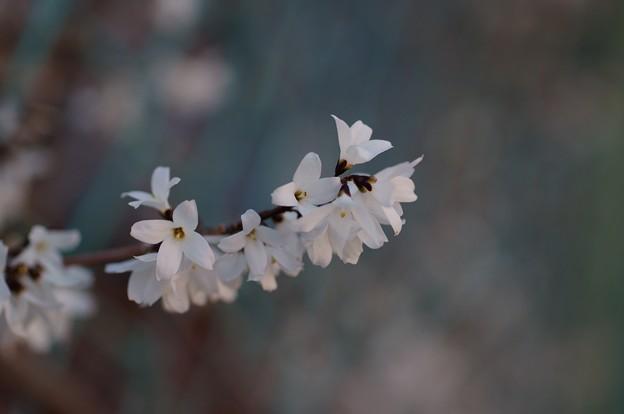団扇の木(ウチワノキ)