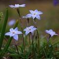 写真: 花韮(ハナニラ)