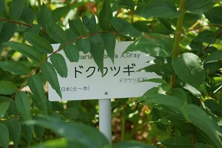 毒空木(ドクウツギ)