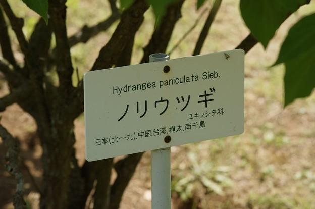 糊空木(ノリウツギ)