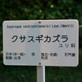 Photos: 草杉蔓(クサスギカズラ)