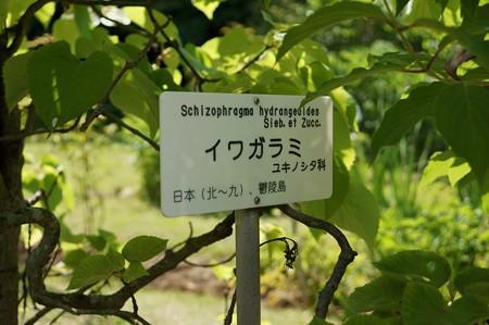 岩絡み(イワガラミ)