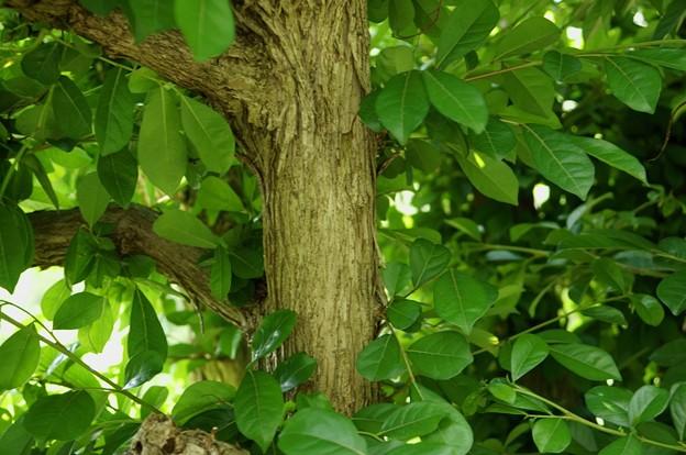 餲餬木(カンコノキ)