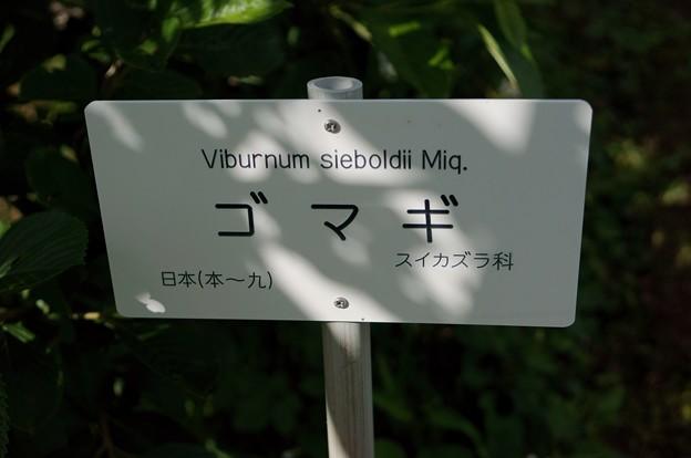 Photos: 胡麻木(ゴマギ)
