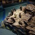 写真: マゼランペンギン