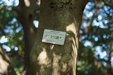 多羅葉(タラヨウ)