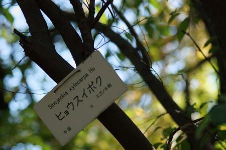 秤錘木(ヒョウスイボク)