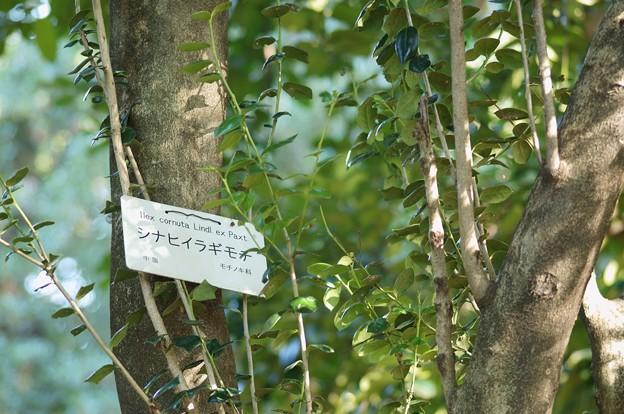 Photos: 支那柊(シナヒイラギ)