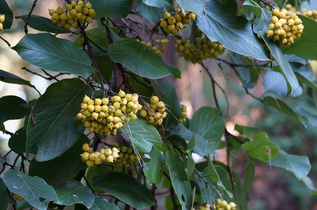 丸葉萵苣の木(マルバチシャノキ)