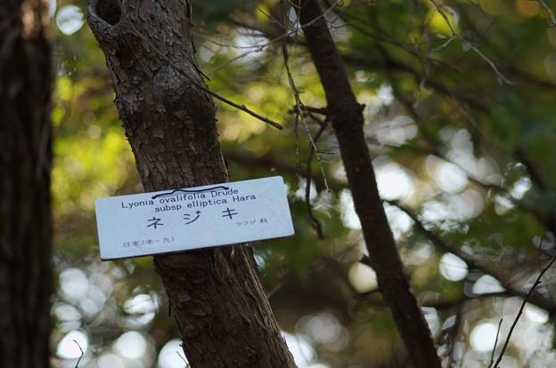 捩木(ネジキ)