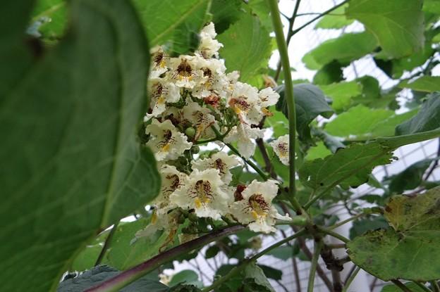 木大角豆(キササゲ)