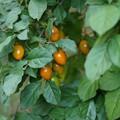 老鴉柿(ロウヤガキ)