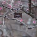 Photos: 梅 八重寒紅