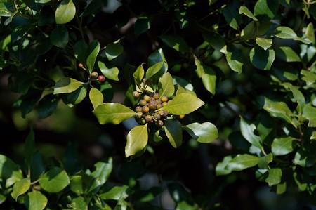 黐の木(モチノキ)