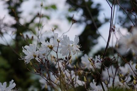 白花三葉躑躅(シロバナミツバツツジ)