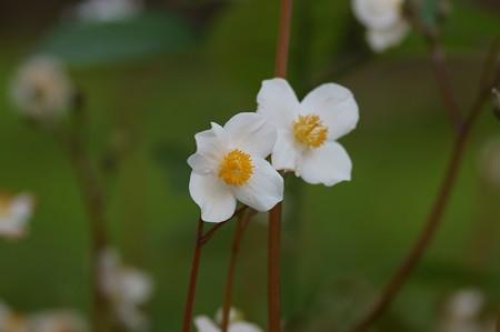 白雪芥子(シラユキゲシ)