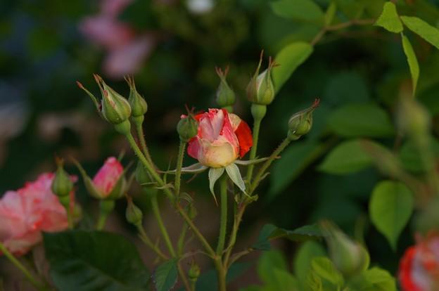 薔薇 オレンジ・スプラッシュ