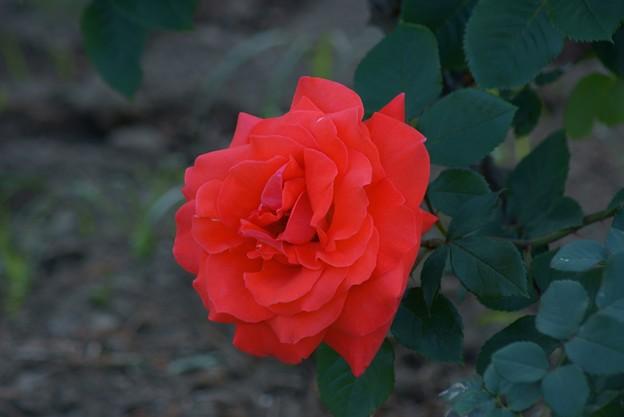 薔薇 ローラ