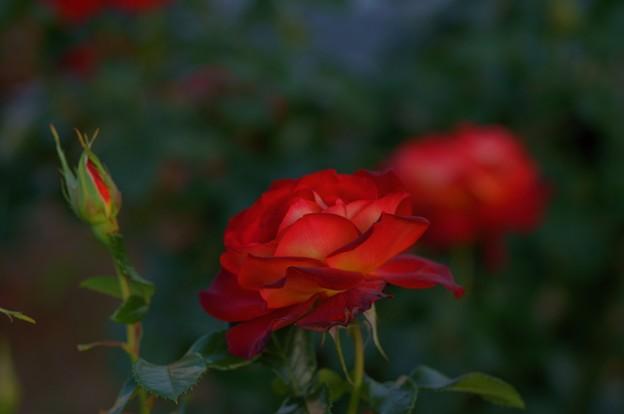 Photos: 薔薇 希望