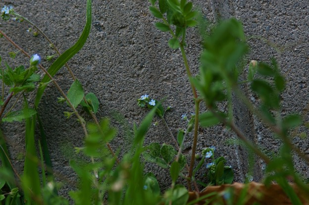 胡瓜草(キュウリグサ)