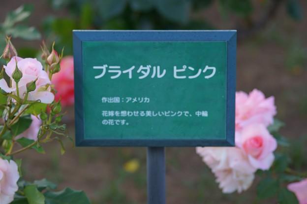 薔薇 ブライダル・ピンク