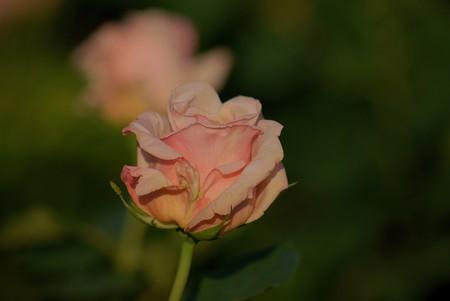 薔薇 コンパッション