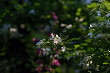 白萩(シロハギ)
