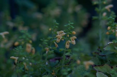黄花秋桐(キバナアキギリ)