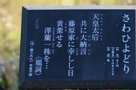 澤鵯(サワヒヨドリ)