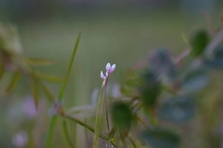 雀野豌豆(スズメノエンドウ)
