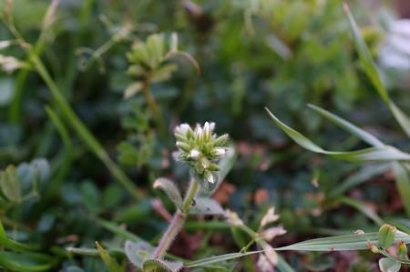 和蘭耳菜草(オランダミミナグサ)