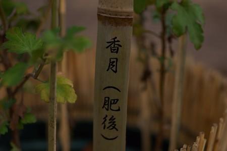 肥後菊 香月