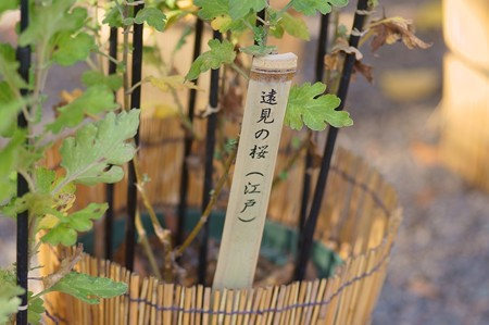 江戸菊 遠見の桜