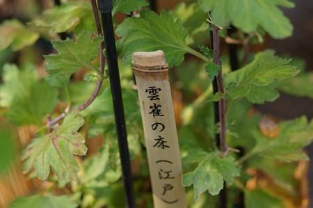 江戸菊 雲雀の床