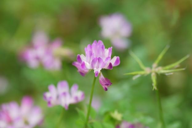 紫雲英(ゲンゲ)