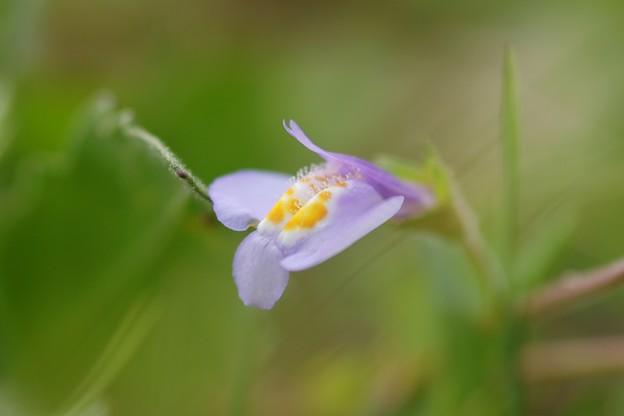 紫鷺苔(ムラサキサギゴケ)