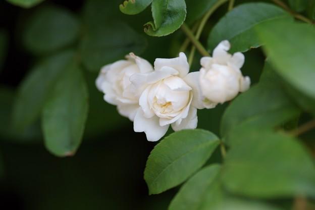 木香薔薇(モッコウバラ)