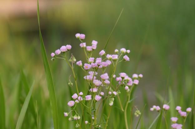 春紫苑(ハルジオン)
