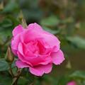 薔薇 スウィート・メリナ