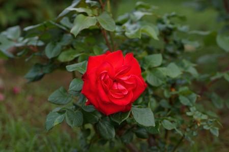薔薇 光彩