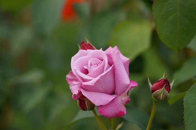 薔薇 ブルー・ムーン